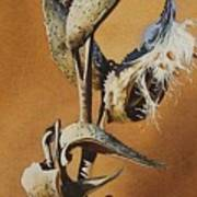 Song Sparrow And Milkweed Poster
