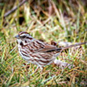Song Sparrow Sweetie Poster