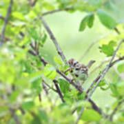 Song Sparrow With Dinner Poster