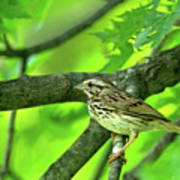 Songsparrow In Spring Poster