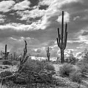 Sonoran Desert In Black And White  Poster