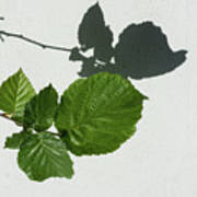 Sophisticated Shadows - Glossy Hazelnut Leaves On White Stucco - Horizontal View Left Down Poster