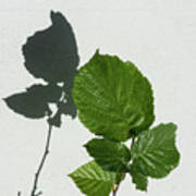Sophisticated Shadows - Glossy Hazelnut Leaves On White Stucco - Vertical View Upwards Left Poster