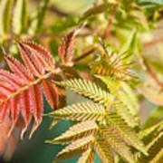 Sorbaria Sorbifolia Spring Foliage Poster
