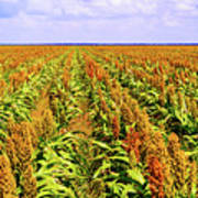 Sorghum Plants Fields In Botswana Poster