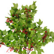 Sour Red Berries Bush Isolated Poster