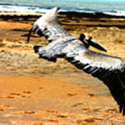 South Padre Pelican Poster