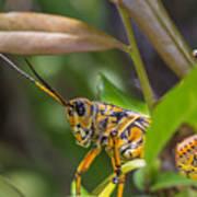Southeastern Lubber Grasshopper Poster