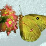 Southern Dogface Butterfly Feasting On December Lantanas Austin V2 Poster