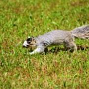 Southern Fox Squirrel Poster