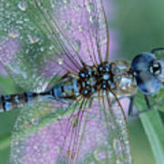 Southern Hawker Dragonfly Aeshna Cyanea Poster