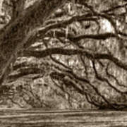 Southern Live Oak Trees Poster