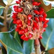 Southern Magnolia Seedpods Poster