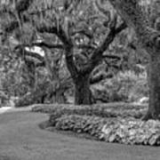 Southern Oaks In Black And White Poster