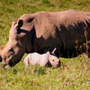 Southern White Rhino With A Little One Poster