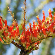 Southwest Ocotillo Bloom Poster