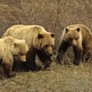 Sow Grizzly With Cubs Poster