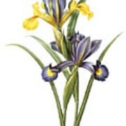 Spanish Iris Poster
