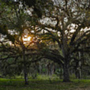 Spanish Moss During Sunset Poster