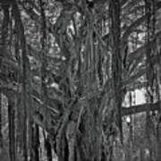 Spanish Moss Of The Tree Poster