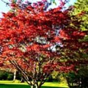 Sparkling Japaneese Maple Tree Poster
