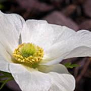 Sparkling White Anemone Poster