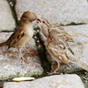 Sparrow Feeding Fledgelings Poster