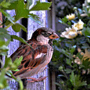 Sparrow In The Shrubs Poster