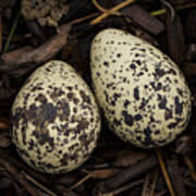 Speckled Killdeer Eggs By Jean Noren Poster