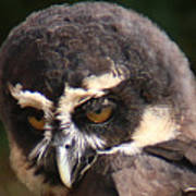 Spectacled Owl Portrait 2 Poster