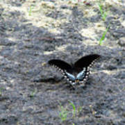 Spicebush Swallowtail 2 Poster