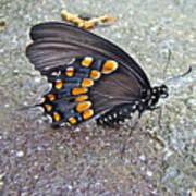 Spicebush Swallowtail Butterfly Female - Papilio Troilus Troilus Poster