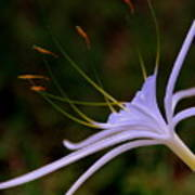 Spider Lilly Blue Poster by Susanne Van Hulst