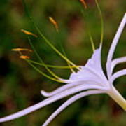 Spider Lilly Flower 2 Poster