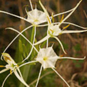 Spider Lily Poster