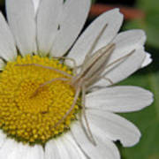 Spider On Daisy Poster