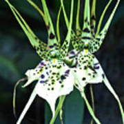 Spider Orchid Brassia Poster
