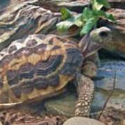 Spider Tortoise       Zoo    Indiana Poster