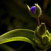 Spiderwort Bud Poster