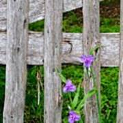 Spiderworts By The Gate Poster