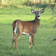 Spikehorn Whitetail Poster
