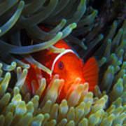Spinecheek Anemonefish, Great Barrier Reef Poster