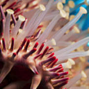 Spines Of A Crown Of Thorns Starfish Poster