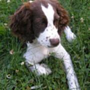 Spinger Spaniel Pup Poster