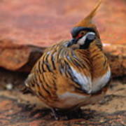 Spinifex Pigeon Poster