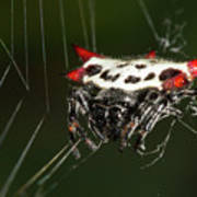 Spiny Orb Weaver Poster