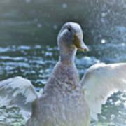 Splashing Duck Poster