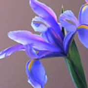 Splendid Iris Poster