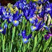 Vivid Blue Iris Flowers Poster