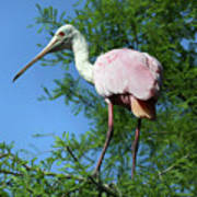 Spoonbill In A Tree Poster